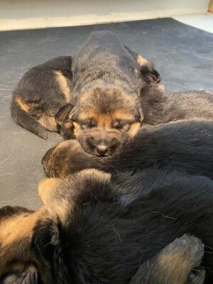 hera-enzo-puppies_5611