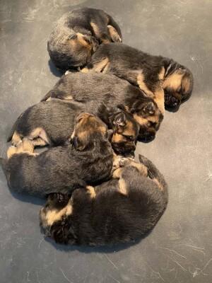 hera-enzo-puppies_5617